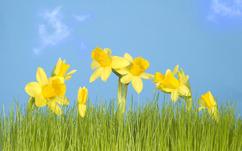 callum_daffodils_2