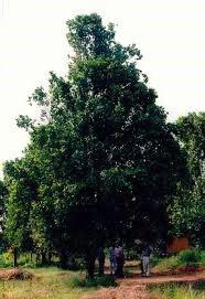karanfil agaci